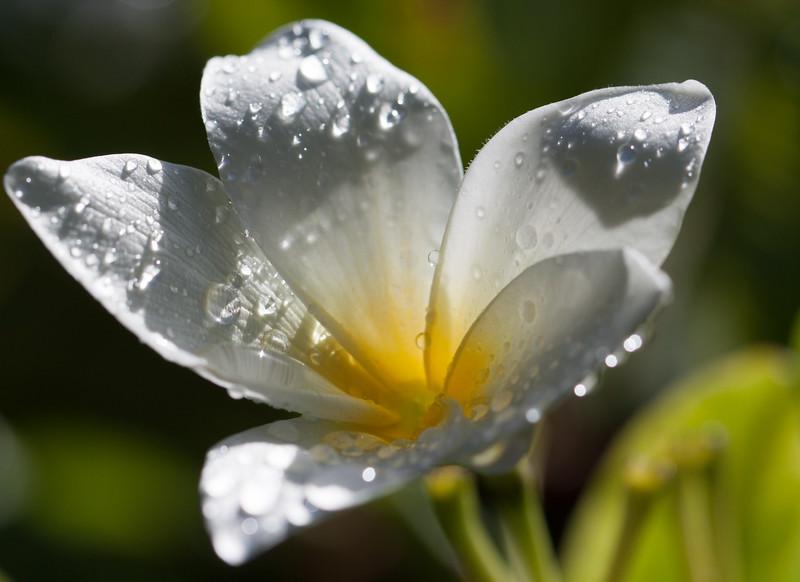 white-frangipani.jpg