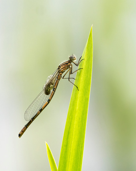 Common blue damselfly emerging