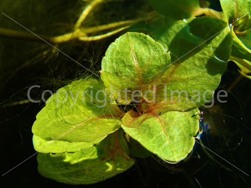 #43 green plant on water.JPG