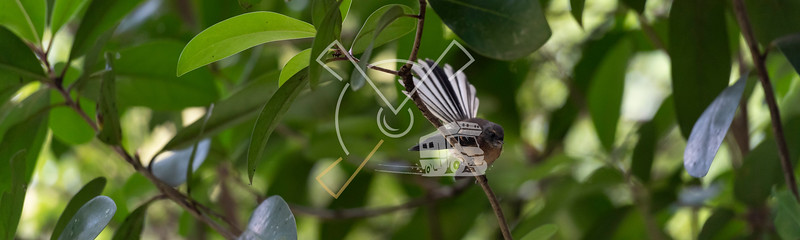 Fantail sitting on a fine branch with its wings and tail open, New Zealand.