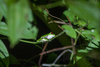 Red-eyed tree frog. Numbers are diminishing tremendously these days in the Osa Peninsula. Much harder to find now.