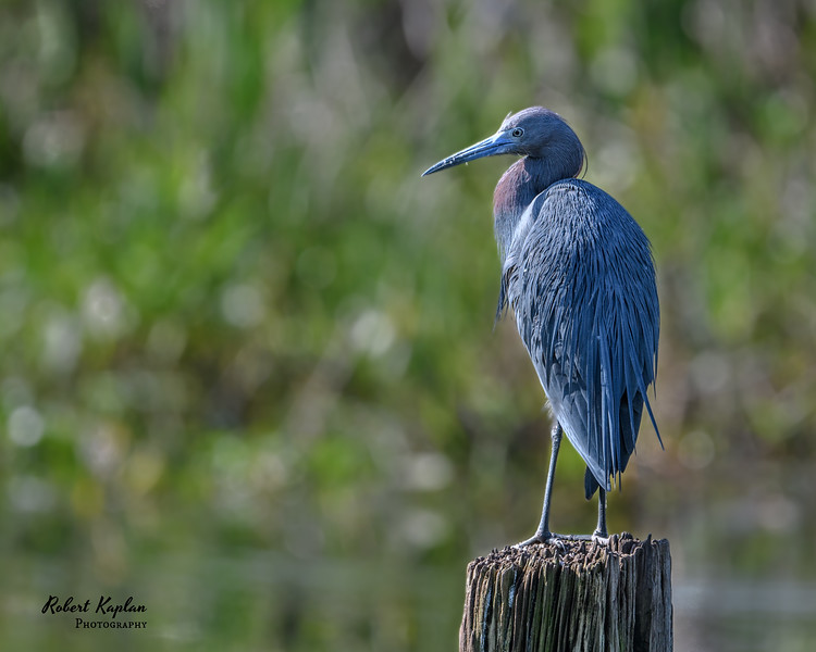 Tri colored heron-2993.jpg