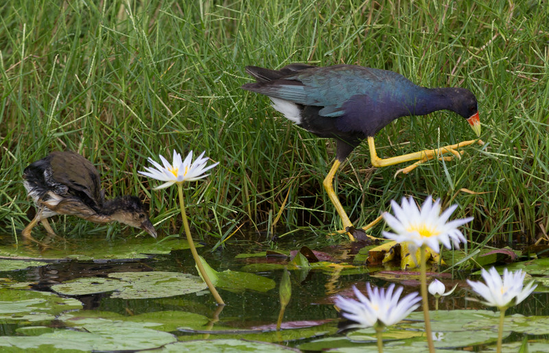 zAnahuac, card 1, 8-10-2014 397A, PG adult with chick  (1 of 1).jpg