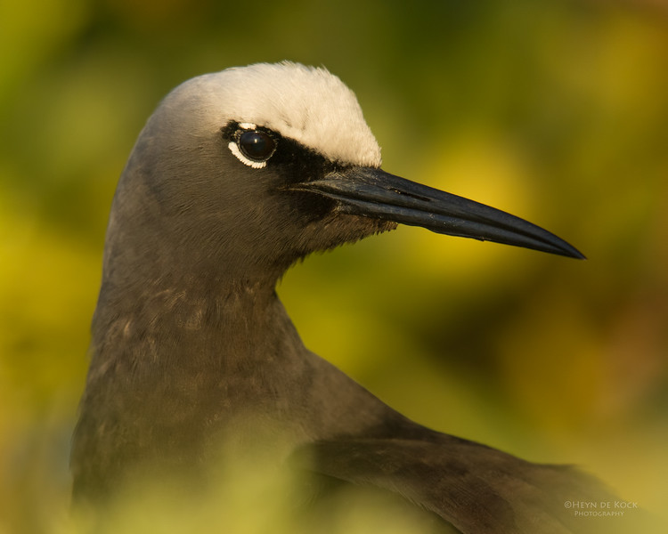 Black Noddy, Lady Elliot Island, QLD, Dec 2015-6.jpg