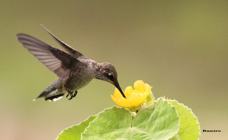 Humming Bird 5-26-15 277.jpg