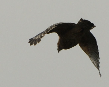 Hawks over Lawrenceville GA