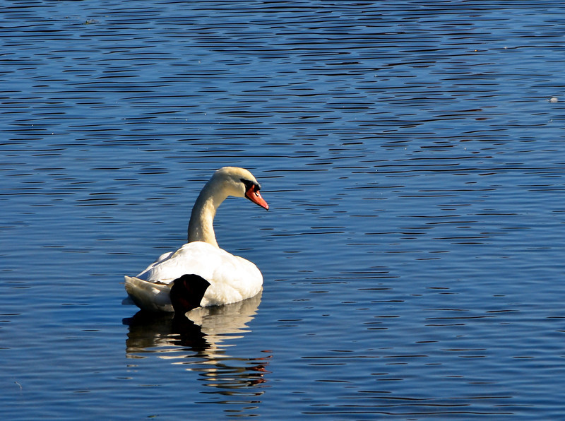 Swan 1  E. Meadow Pond 10-30-11.jpg
