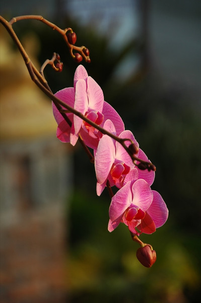Orchids - Inle Lake, Myanmar (Burma)