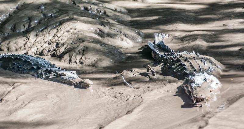 Costa Rica_Animals_Crocodiles-1.jpg