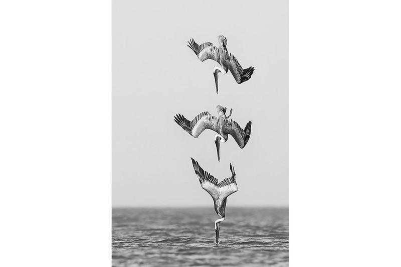 Pelican Diving B&W