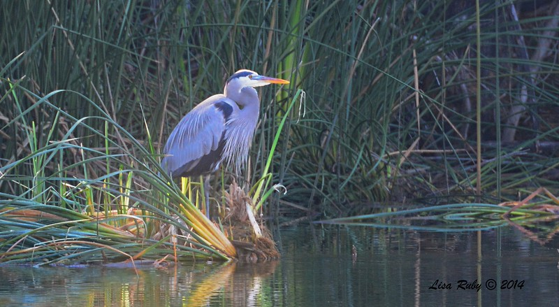 Great Blue Heron - 1/3/2015 - RB CBC, on edge of golf course off Verano Drive