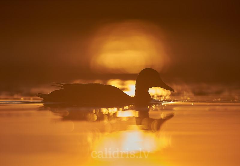 Meža pīlles siluets saullēktā / Mallard silhouette