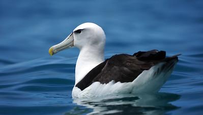 Shy type Albatross [Thalassarche cauta/steadi]