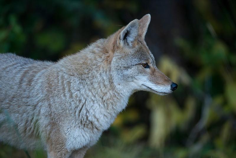 Coyote - Banff  Alberta