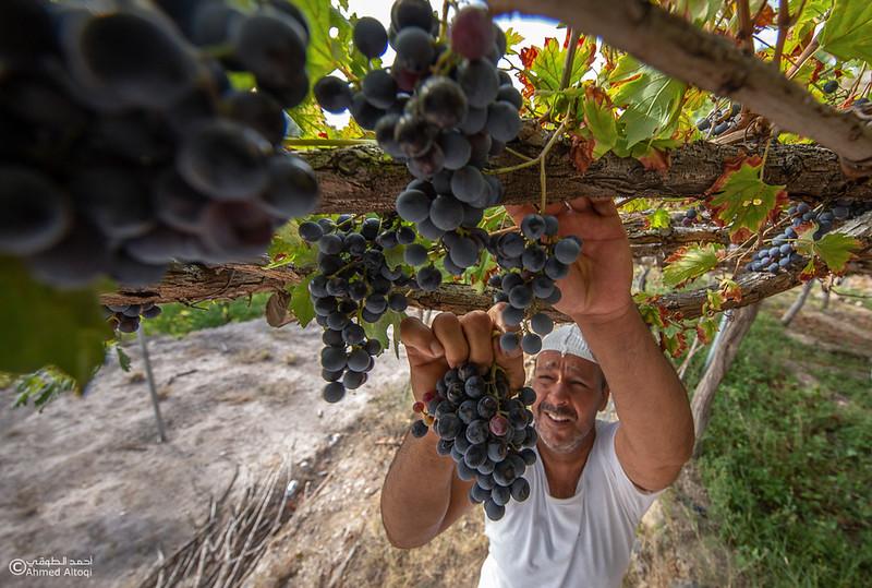 Grape - Wakan village - Nakhal217- Oman.jpg