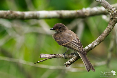 A flycatcher