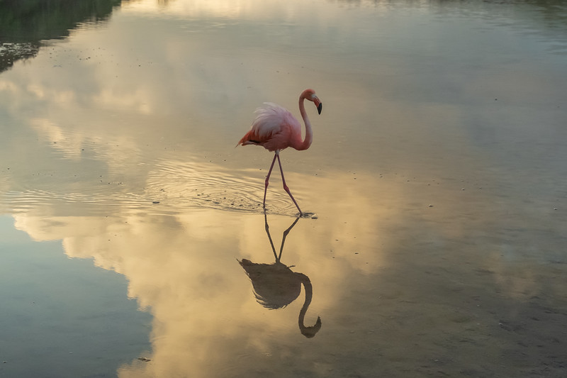 Greater Flamingo wading in the brakish lagoon at Punta Cormoront