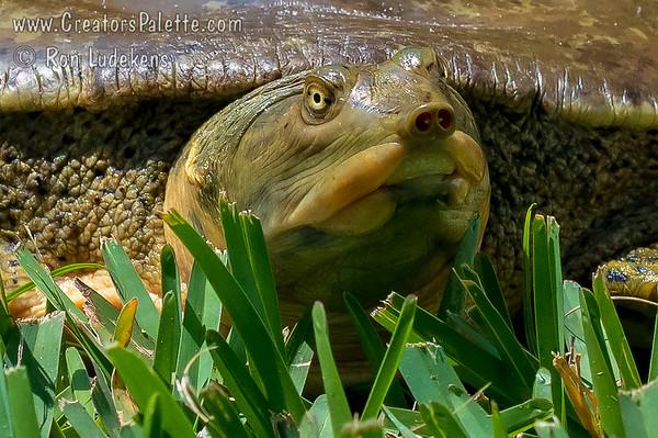 Texas Spiny Softshell Turtle (Apalone spinifera emoryii)