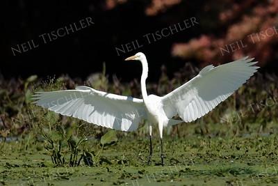 Herons, Egrets