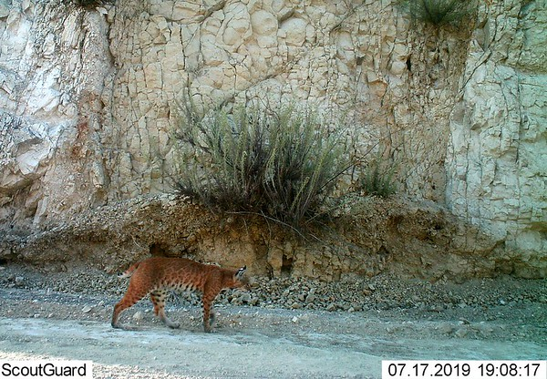 Recent Pismo Preserve Wildlife Camera Captures