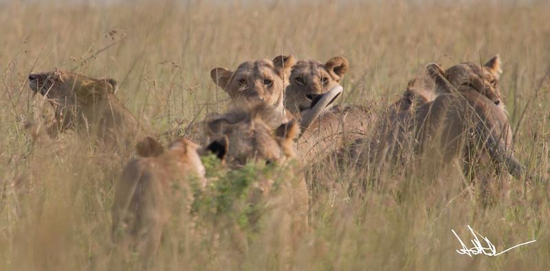Lions Masai Mara - S-19.jpg