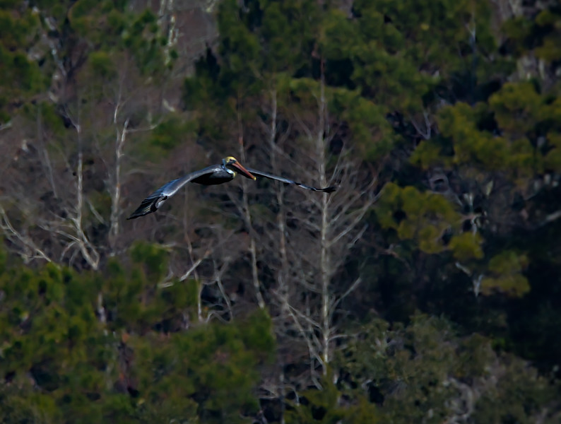 2018 Huntington Beach State Park brown cu pelican in flight -.jpg