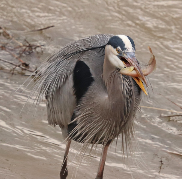 Great blue heron and fish 1