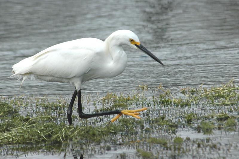 Egret - Snowy - Wakulla Springs State Park, FL - 01