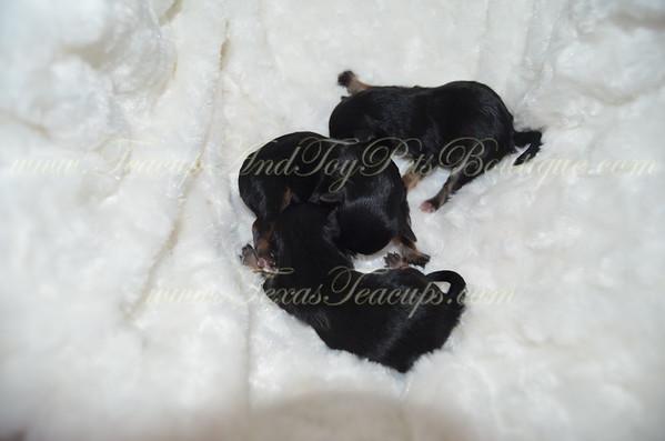 Male Yorkie Puppy # 3135