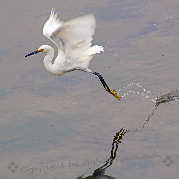Snowy Egret Flight