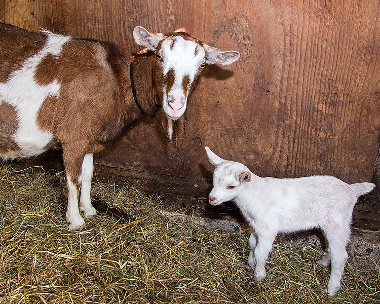 CP_goats_032521_RW.jpg