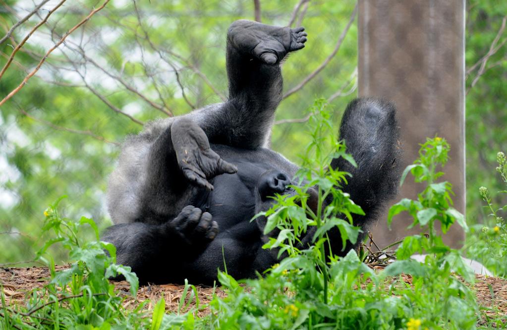 . A gorilla cavorts in the natural habitat of Gorilla Forest. (Pioneer Press: Jean Pieri)
