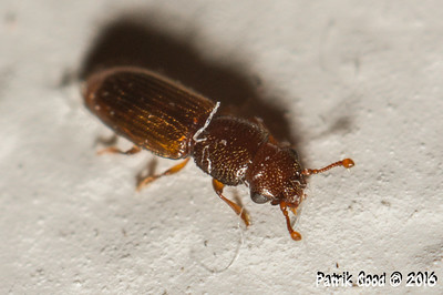 Small House Beetle