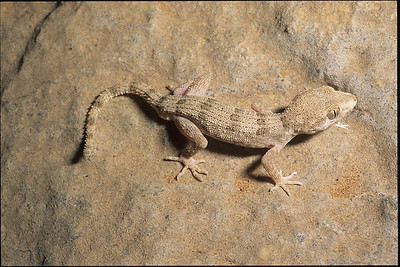 Banded Ground Gecko