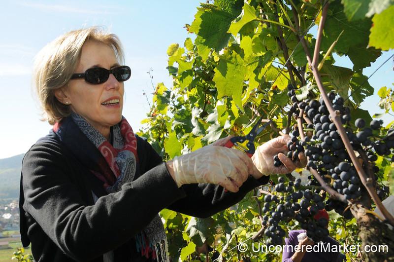 Careful Cutting - Grape Harvest Event in Thüngersheim, Germany