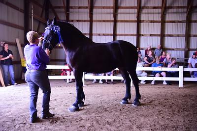 Percheron Senior Champion Mare