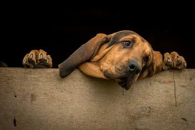 Burne Bloodhounds, Penkridge Meet, 15th December 2013