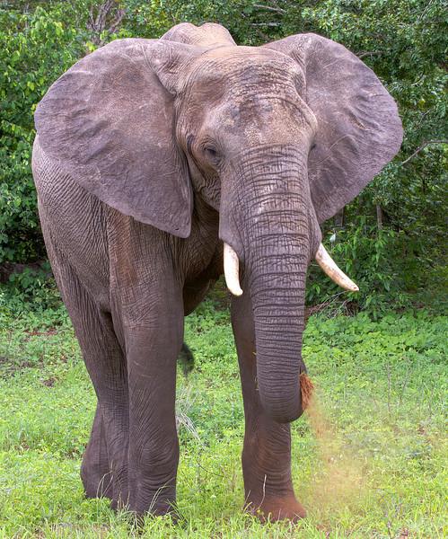Adult-elephant-with-white-tusks-eating-grass-botswana.jpg