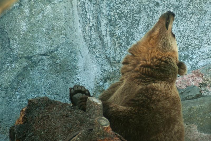 Brown Bear - Ruskeakarhu - Ursus arctos  Snif! I hate waiting! - UH! Vihaan odottelua!