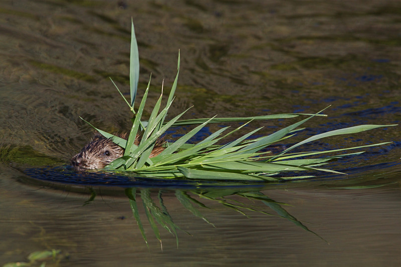 Muskrat swimming with freshly uprooted cattails.