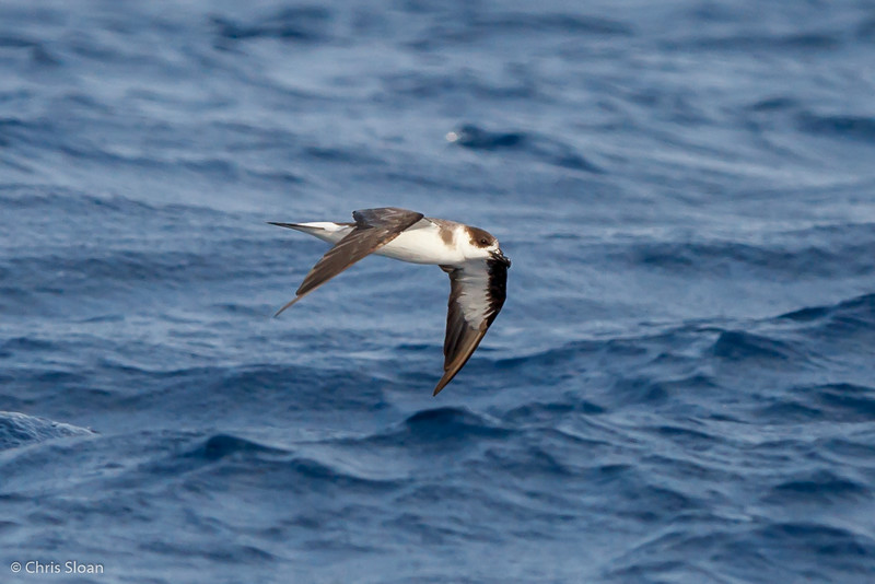 Black-capped Petrel at Gulf Stream off Hatteras, NC (08-08-2014) 032-17.jpg