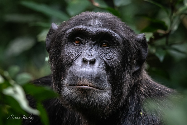 6 Kibale Forest Chimps