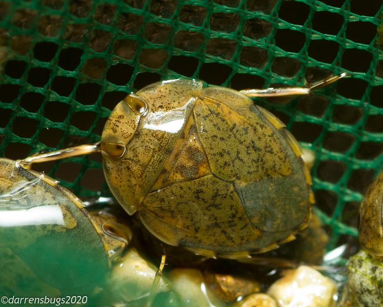 Predatory water bug from Panama.