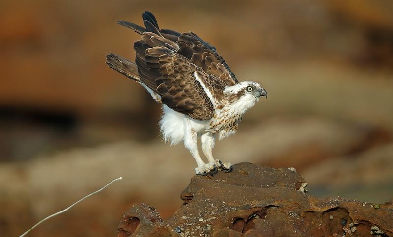 Eastern Osprey 4.jpg