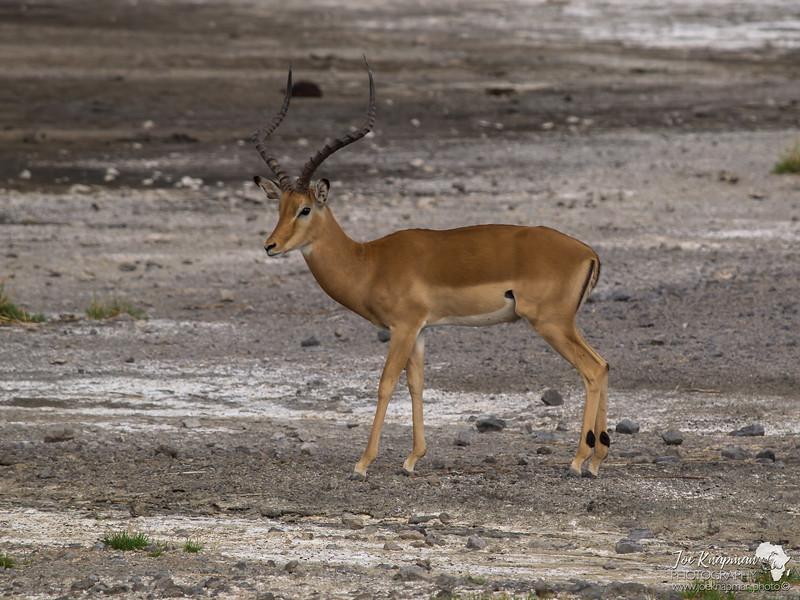 Male Impala