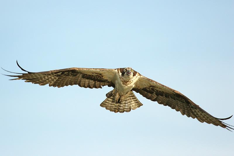 osprey-4_159698620_o.jpg
