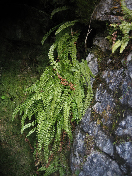 Cryptogamae (ferns and other non-flowering and non seed-bearing plants)