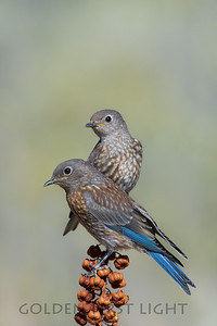 Thrushes & Bluebirds