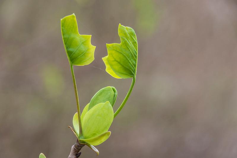 Spring-sprung-tulip-poplar2.jpg
