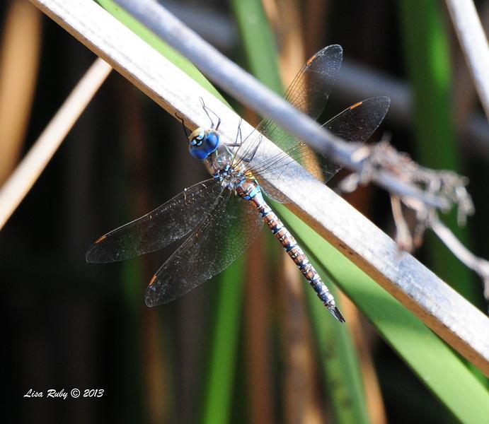 Dragon Fly - 10/12/13 - Whelan Lake